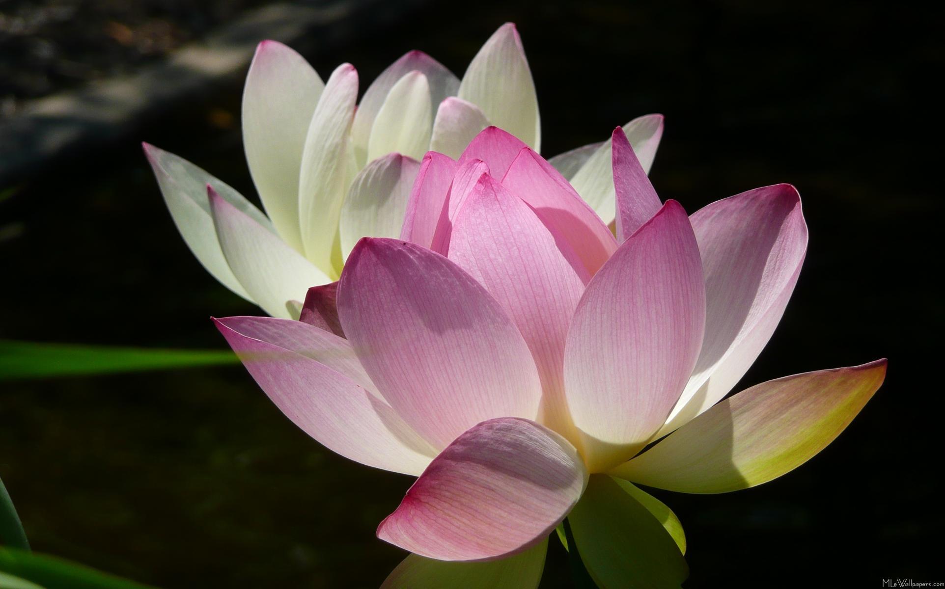 Mlewallpapers Pair Of Lotus Flowers Ii