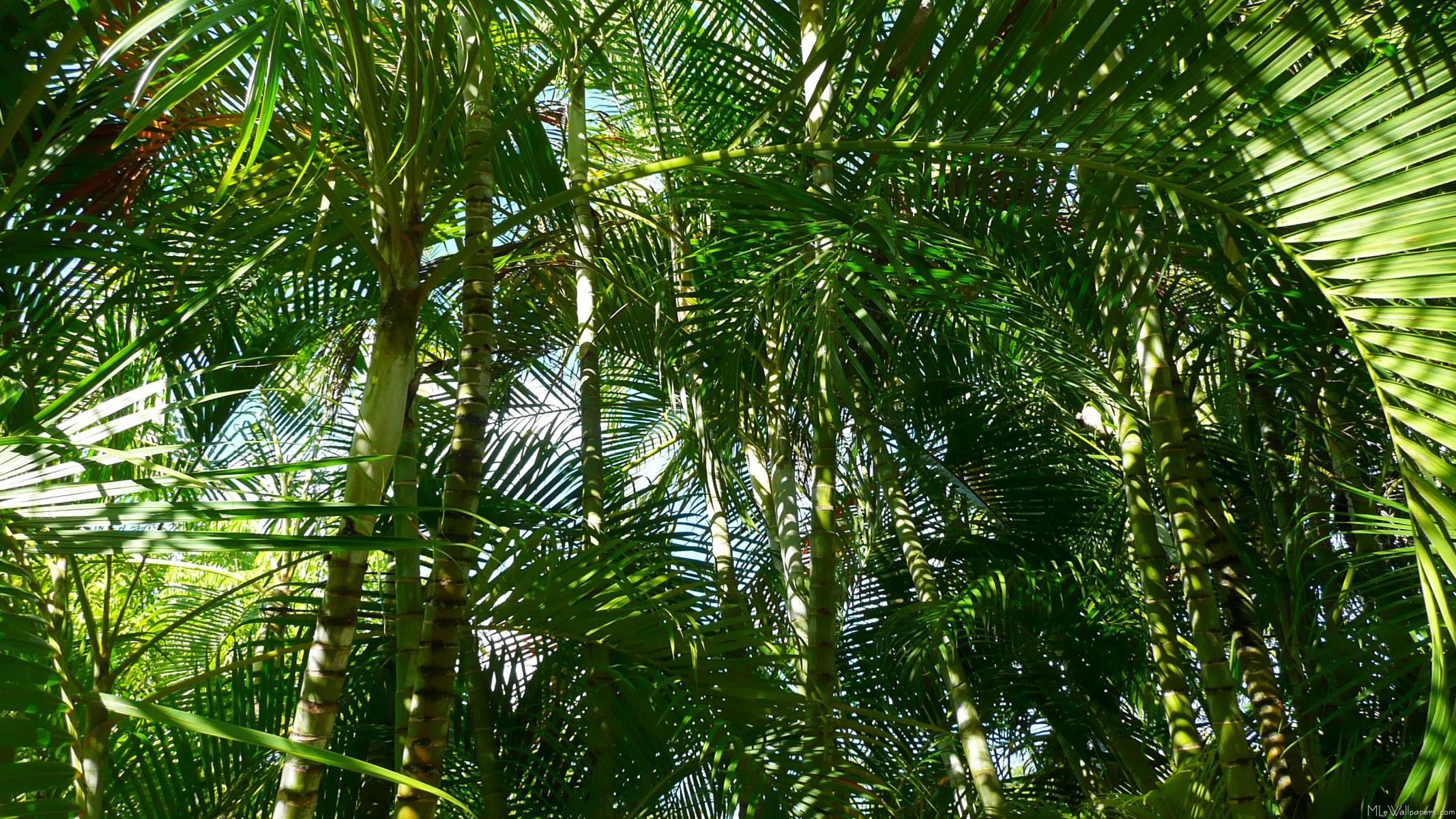 There Are Several Wallpapers Of A Single Lovely Palm Tree On This Website Heres Whole Forest Young Trees In Wallpaper
