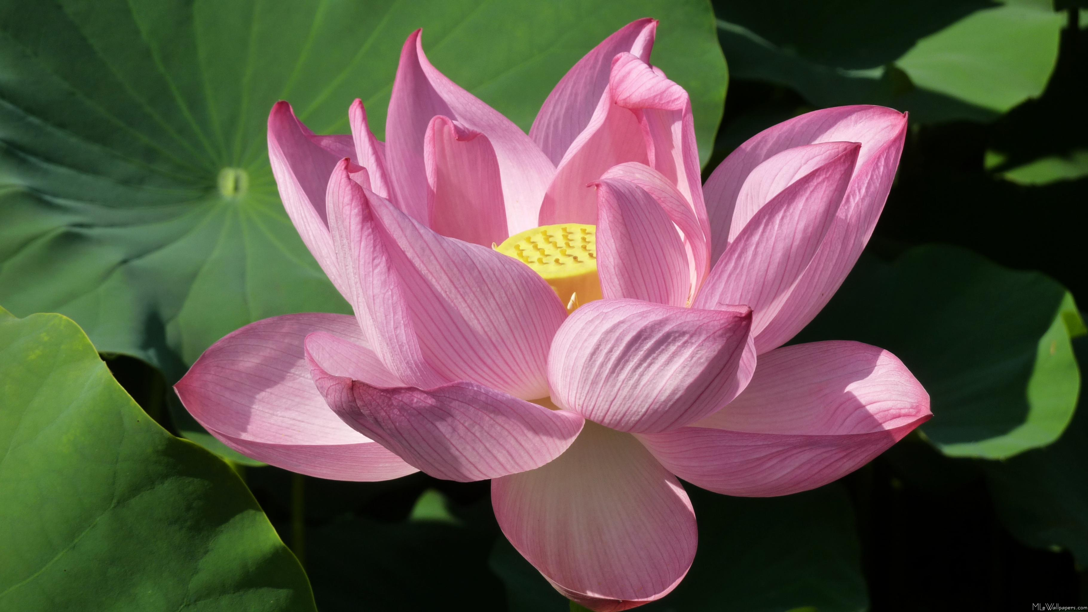 Mlewallpapers Pink Lotus Flower Iv