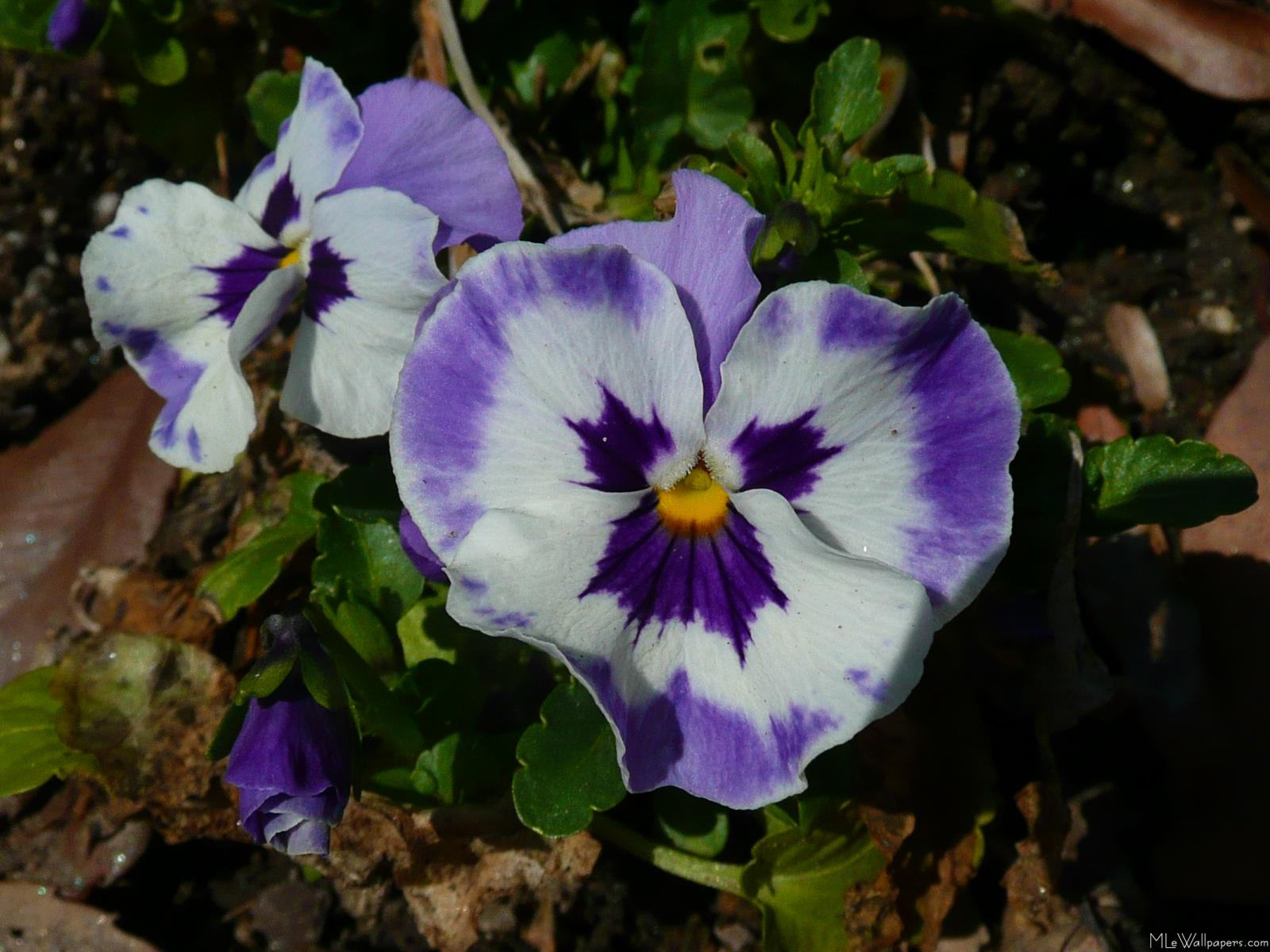 Mlewallpapers purple and white pansies purple and white pansies mightylinksfo