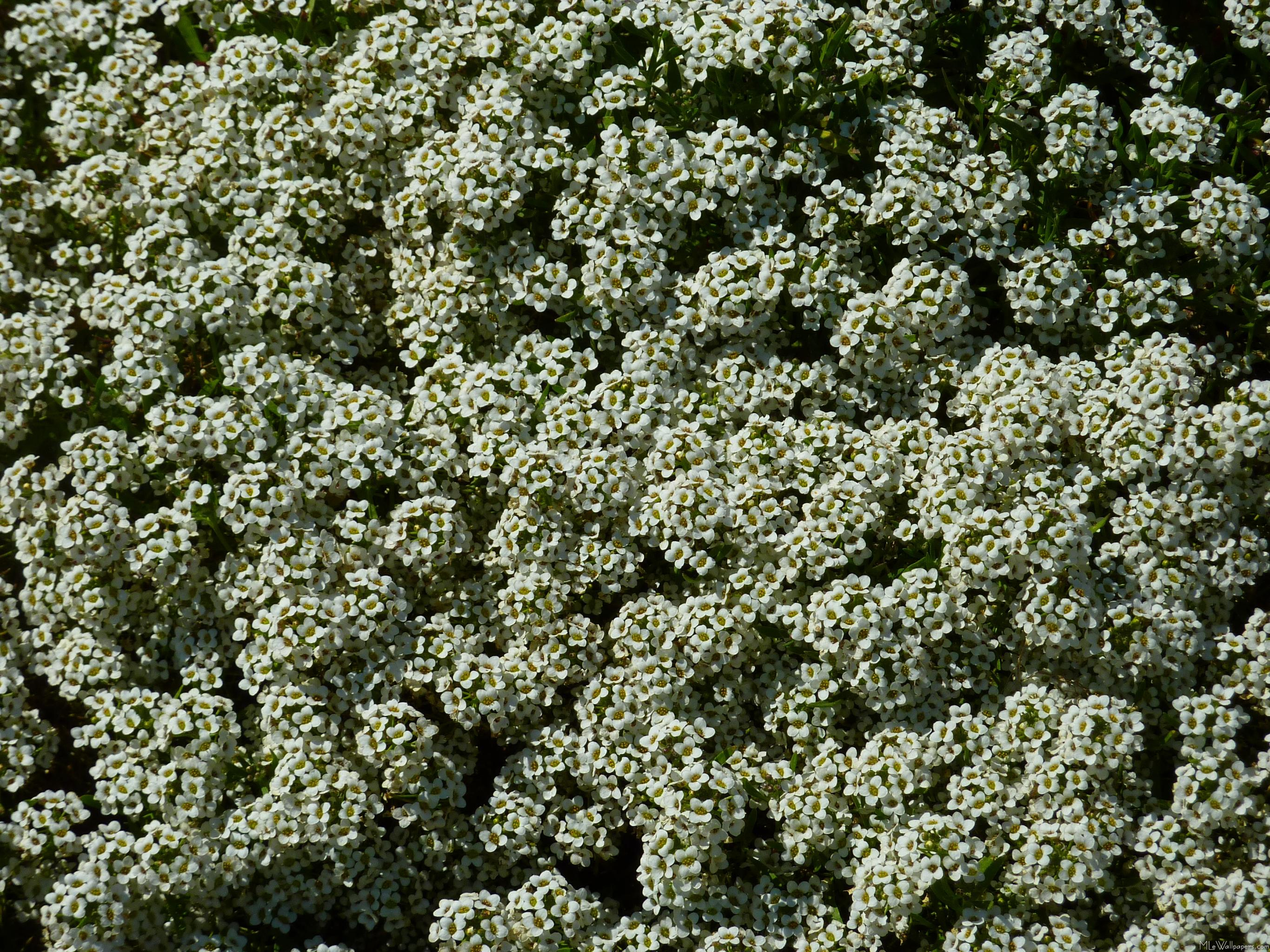 Ground Cover With Tiny White Flowers O2 Pilates