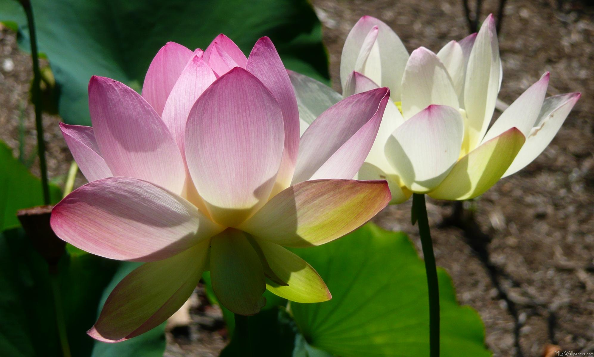 Mlewallpapers Pair Of Lotus Flowers I