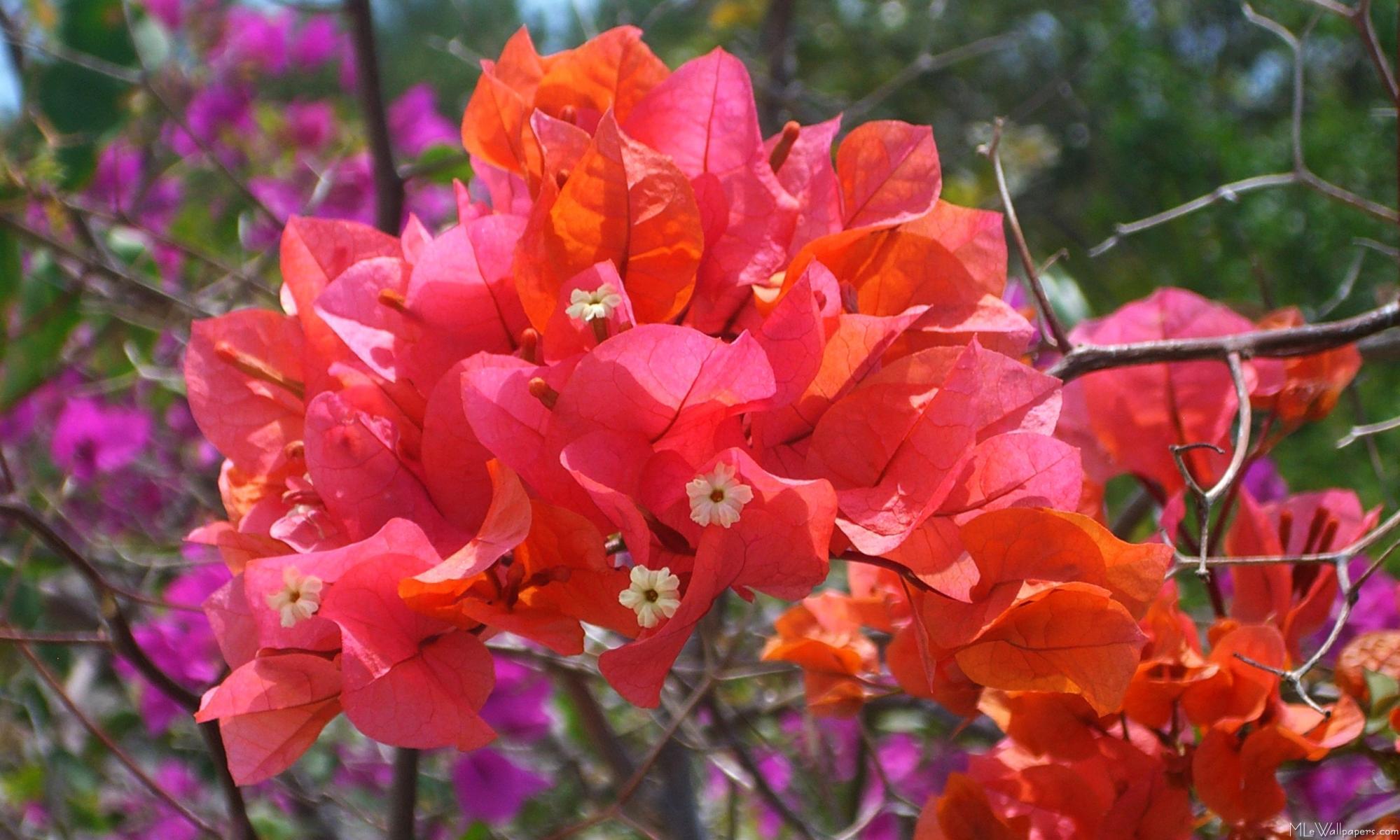 Mlewallpapers tropical pink bougainvillea tropical pink bougainvillea mightylinksfo