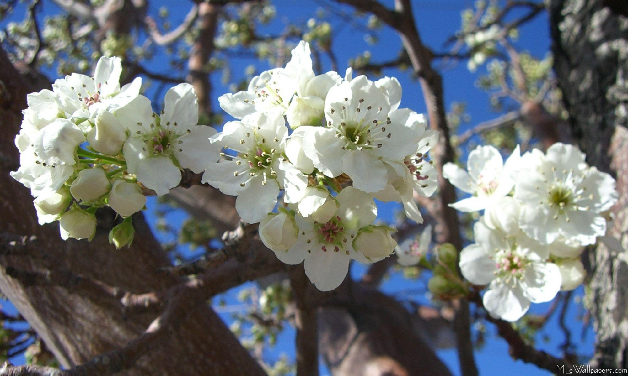Mlewallpapers White Blossom Clusters