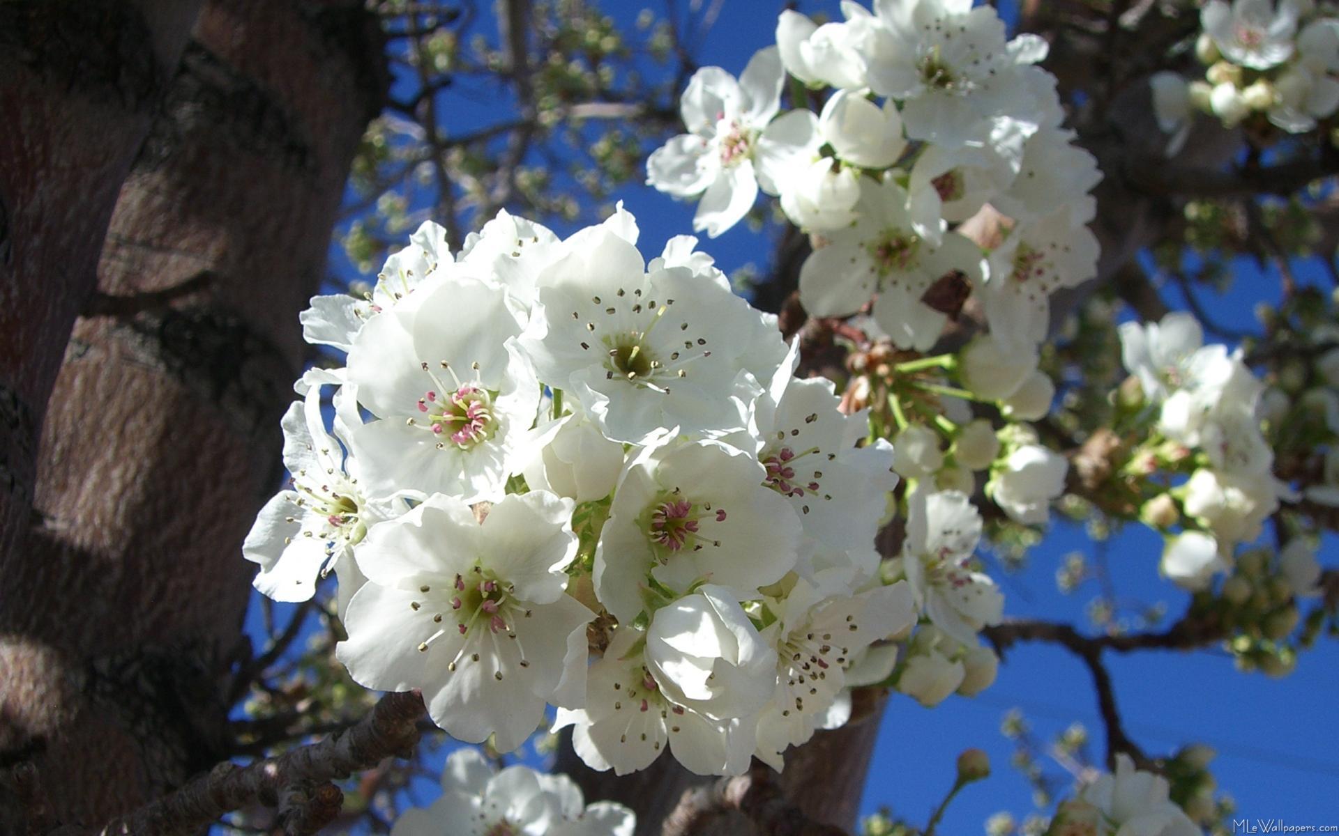 Mlewallpapers white blossoms i white blossoms i mightylinksfo