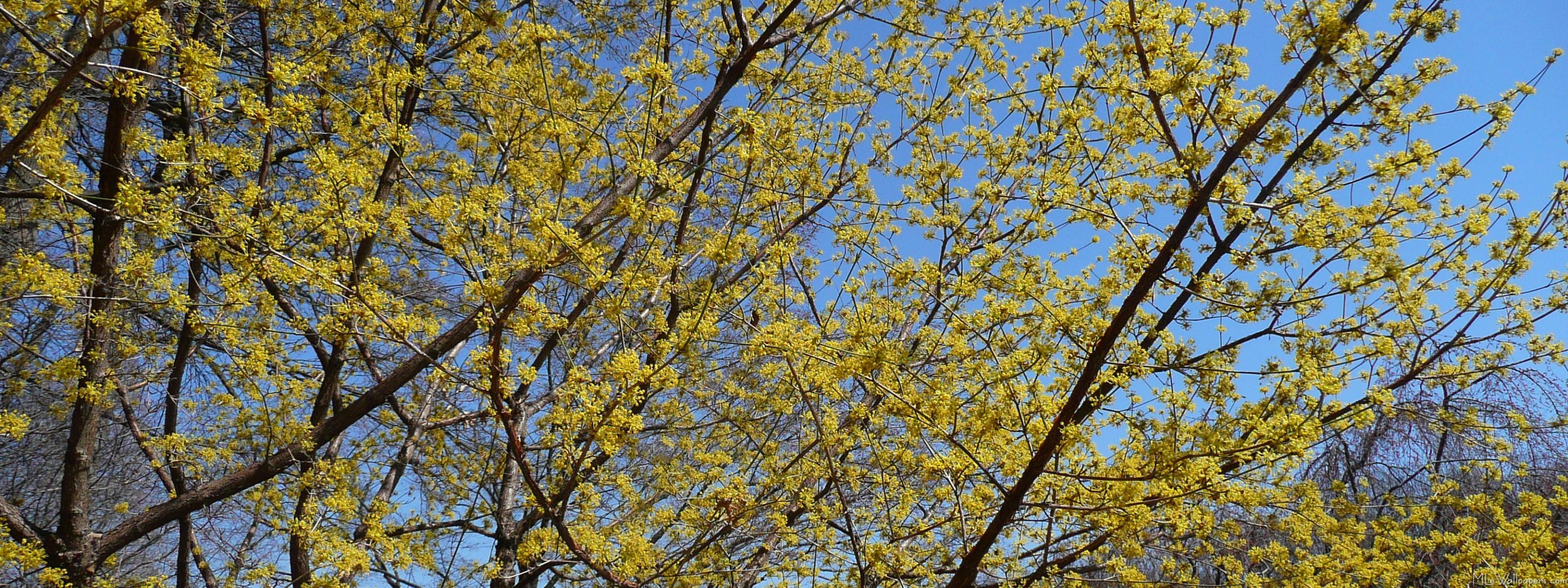 Cornelian Cherry Dogwood And Blue Sky