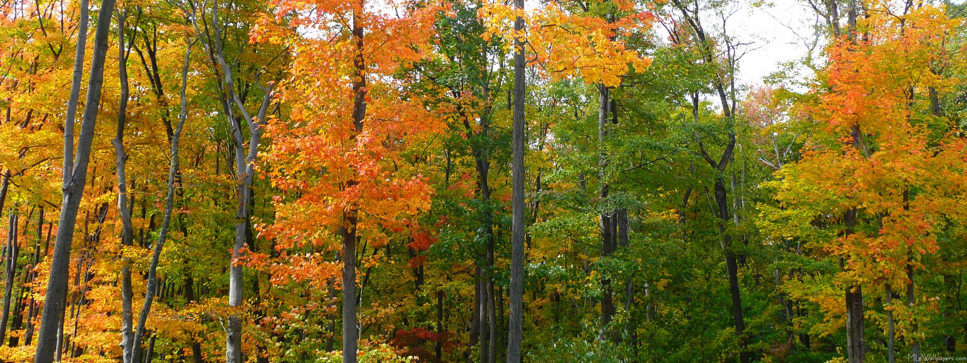MLeWallpapers.com - Fall Maple Trees