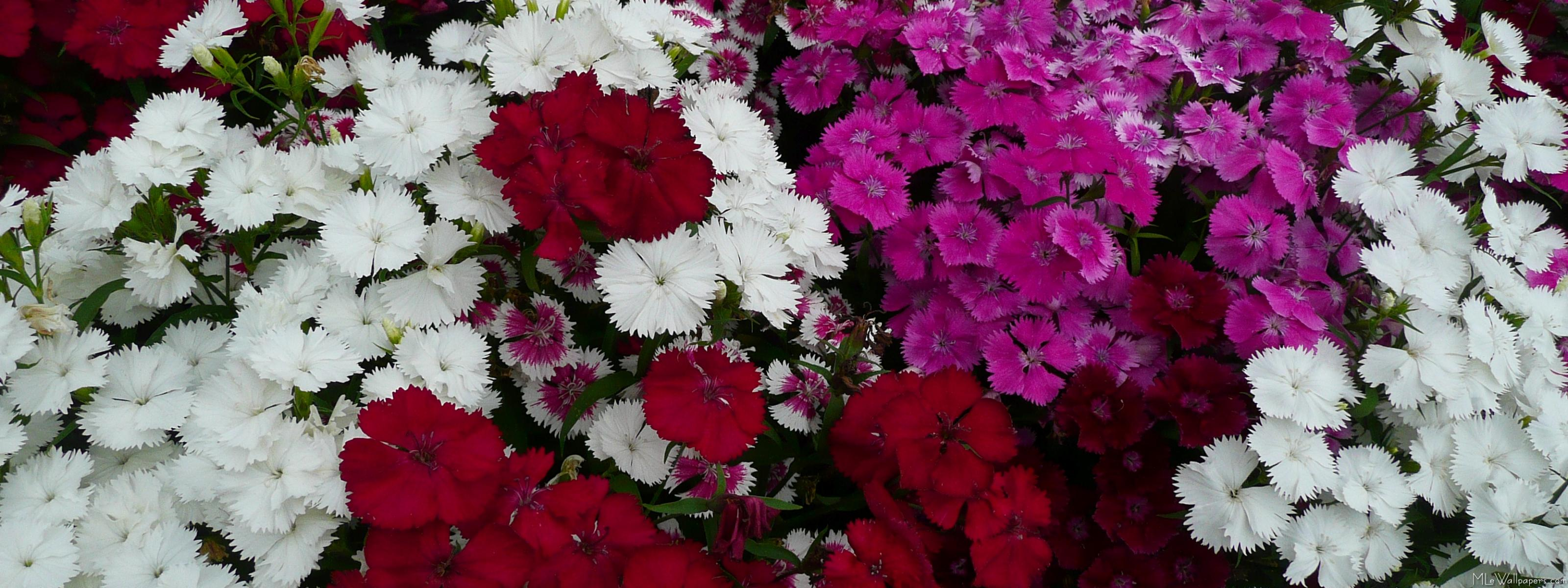 Mlewallpapers White Pink And Red Dianthus